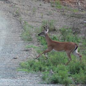 Deer_-4349174957808924480