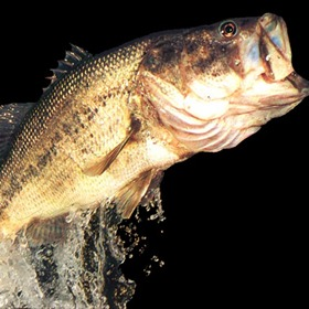 Largemouth Bass jumping from water _3134652815915175384