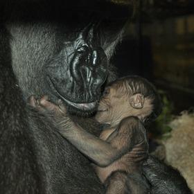 Gorilla Baby_6597331162363675661