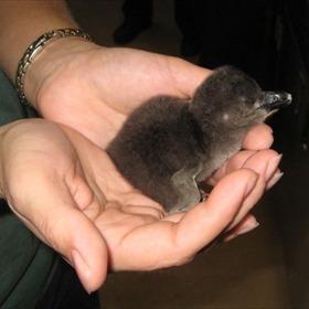 Penguin chick_6022427489026002050