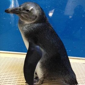 Penguin chick_3123941795599698818