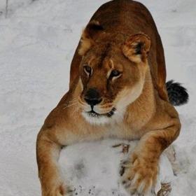 Nyla the Lion_-8059222265257309924
