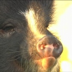 Sooie the pot belly pig_2213580636765178296