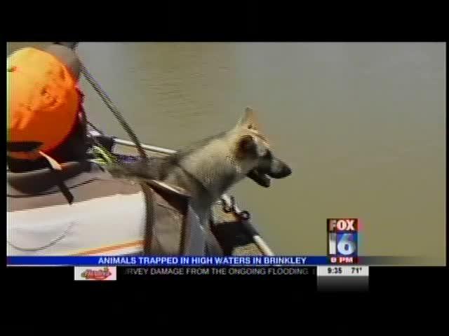 Stranded Animals in Brinkley Flooding_-3256449644874283501