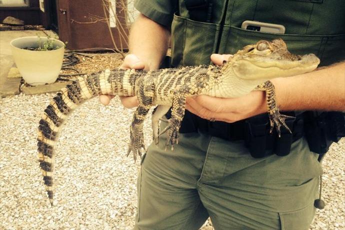 American Alligator found in apartment_-7787527234420980589