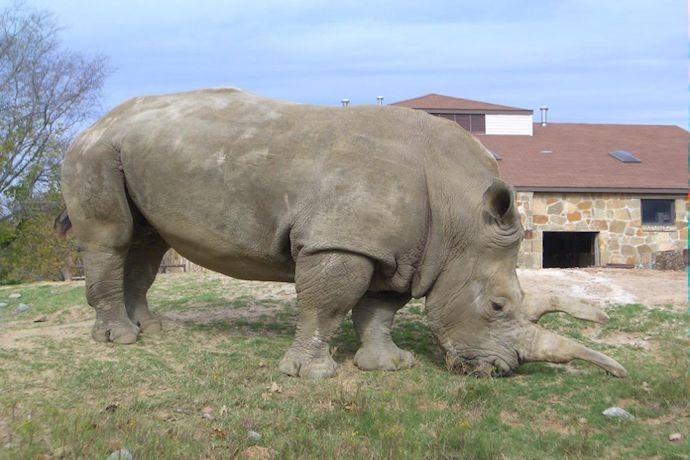 Sue, white rhino at Little Rock Zoo dies._-7488315618758539206