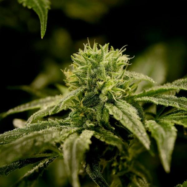 Marijuana_New_Jersey_36767-159532.jpg27322320