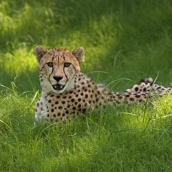 9_cheetah_karen_caster_4_-_copy_1557504815013.jpg