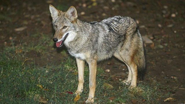Arkansas Predator Control Permit application available online